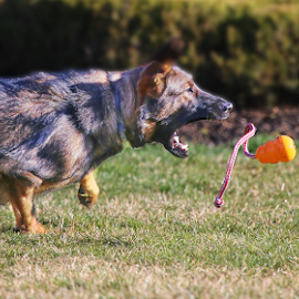 by Doreen Rutherford - Animals - Dogs Playing