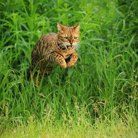 by Jane Bjerkli - Animals - Cats Portraits ( playing, cat, jumping, bengal cat, green, pet, funny, summer, fun, eyes, animal )