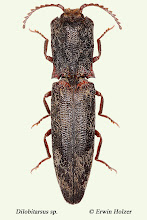 Photo: Dilobitarsus sp., 18 mm, Costa Rica, Corcovado NP (08°27´/-83°29´), leg. & det. Erwin Holzer