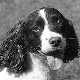 B&W Tess by Chrissie Barrow - Black & White Animals ( monochrome, tongue, black and white, portrait, eyes, springer spaniel, female, pet, ears, dog, nose, mono, animal )