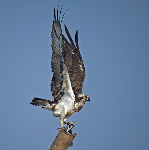 Osprey with a catch by Sathya Vagale - Animals Birds