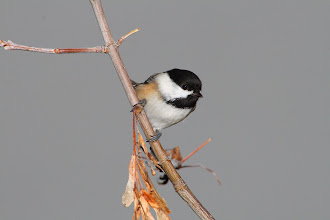 Photo: #BirdPoker Small curated by +Phil Armishaw  A Black-capped Chickadee, photographed while shooting some Birds In Flight With Flash (BIFWF) shots; a lot more difficult to do than I first thought.