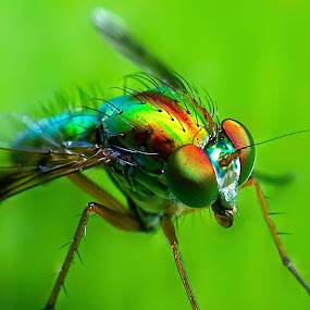 Long Legged Fly by Kwoh LK - Animals Insects & Spiders ( macro, fly, long legged, insect,  )