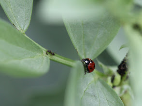 Photo: Ladybird, ant and aphids (the black mass)
