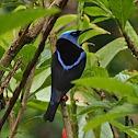 Red-legged Honeycreeper (male)