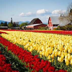 Tulip Fest by Jason Weigner - Nature Up Close Gardens & Produce ( field, pwcflowergarden, red, barn, tulip, yellow, flower, , Spring, springtime, outdoors, land, device, transportation, colorful, mood factory, vibrant, happiness, January, moods, emotions, inspiration )