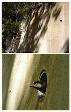 Photo: 撮影者:浜野建男 ヤマガラ タイトル: 観察年月日:2014/5/4 羽数:2羽 場所:片倉城跡からつどいの森への途中の道沿い 区分:繁殖 メッシュ:八王子6G コメント:車道に面したコンクリートの壁面にあいた水抜き穴に、2羽のヤマガラが盛んに出入りしていた。営巣しようとしていた可能性あり。