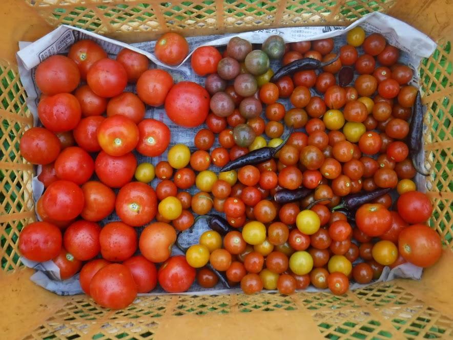 左:マティーナ、右:ミニトマト(ステラミニトマト、ピッコラカナリア、ブラックチェリー)と紫唐辛子