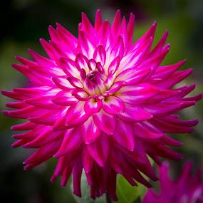 Wow by Janet Marsh - Flowers Single Flower ( magenta, dahlias )