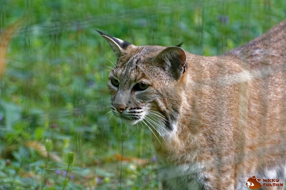 Bobcat, Parc des Félins - Tous droits réservés Nicolas Clément