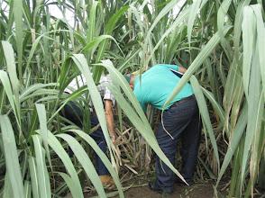 Photo: 8 ½ meses, secano, 25 hijos.  Sustainable Sugarcane Initiative (Sistema de Caña de Azúcar Sostenible - SiCAS) 2012 [Photo by Rena Perez]