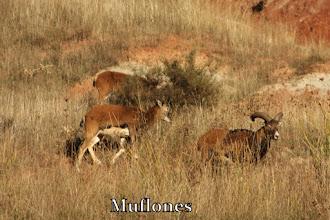 Photo: Muflones