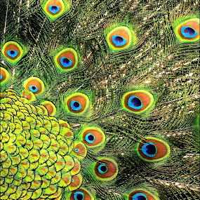 colors by Adriana Petcu - Abstract Patterns ( feathers, peacock )