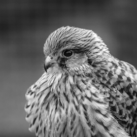 Kestrel by Garry Chisholm - Black & White Animals ( kestrel, raptor, bird of prey, nature, garry chisholm )