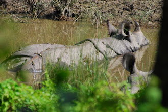 Photo: Rhino with frogs on its back ...