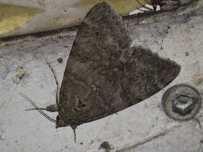 Photo: 13 Aug 13 Priorslee Avenue tunnel: This Red Underwing moth was on the roof of the Priorslee Avenue foot-tunnel. I see one here most years. (Ed Wilson)