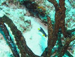 Photo: Juvenile Queen Angelfish