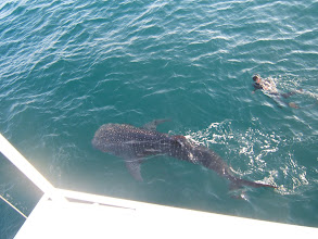 Photo: There were at least 3 different sharks, maybe more. Although they appear to be just lazing along on the surface, we had to swim hard to keep up.