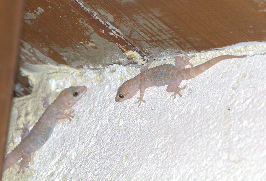 house gecko small.jpg
