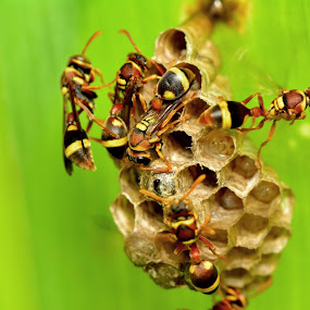bee n honey by Stevie Go - Animals Insects & Spiders ( macro, bee, insects, honey )