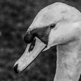 Swan by Garry Chisholm - Black & White Animals ( nature, swan, bird, cob, garry chisholm )