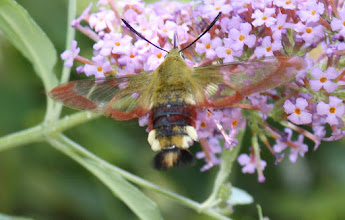 Photo: Hemaris fuciformis   Lepidoptera > Sphingidae