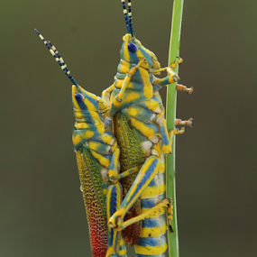 painted grasshopper by Nelson Thekkel - Animals Insects & Spiders (  )