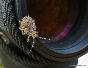 Photo: Some kind of stink bug; Tecuitata