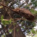 Atlas moth cocoon