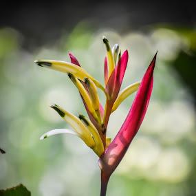 Birds of Paradise Flower by Wohvener Amada - Flowers Flower Gardens ( yellow, flower, garden flower,  )
