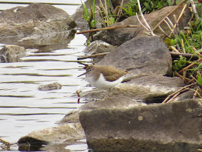 Photo: Priorslee Lake The Common Sandpipers were less flighty today allowing a better shot. Note the fine barring on the coverts. (Ed Wilson)