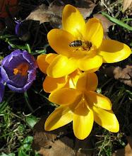 Photo: pszczółka zbiera  nektar