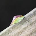Skiff Moth Slug Caterpillar