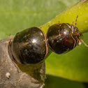 black bean bug