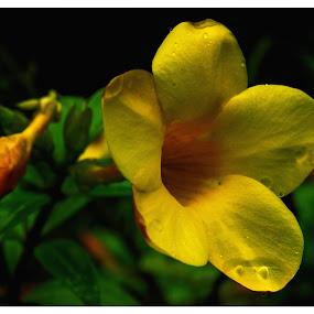 Flower by Kaustav Chakraborty - Nature Up Close Flowers - 2011-2013 ( nature, yellow, flower )