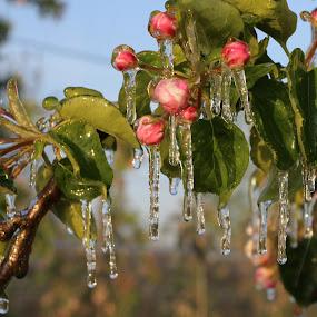 frozen by Hilda van der Lee - Flowers Tree Blossoms ( apple, frost, trees, frozen, spring, blossoms,  )
