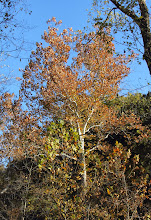 Photo: Sycamore inFishing River Linear Park and Walking Trail