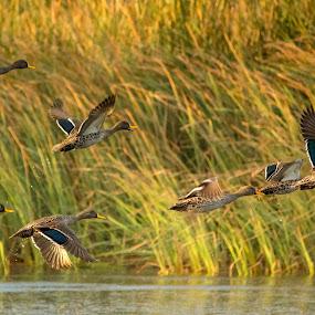 Free Flight by Malan Lombard - Animals Birds ( water, flying, lagoon, ducks )