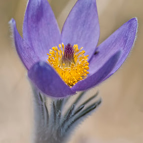 pasque flower by Gernot Koller - Flowers Single Flower ( spring, spring flowers, flower photography, springtime, spring flower,  )