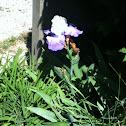 Common Iris