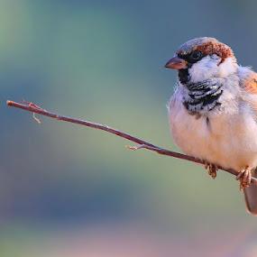 house sparrow by Dr. Mahendra singh Rathore - Animals Birds