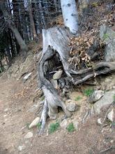 Photo: tra le morte foglie che al ceppo delle quercie agita il vento.