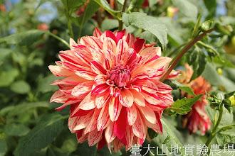 Photo: 拍攝地點: 梅峰-溫帶花卉區 拍攝植物: 大理花 拍攝日期:2012_07_24_FY
