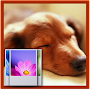 Dachshund HD Wallpaper APK icon