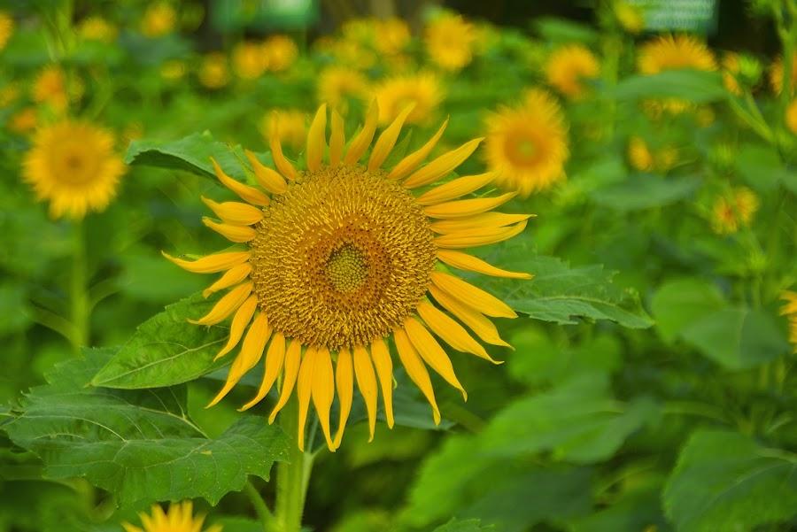 by Hery Sulistianto - Flowers Flower Gardens (  )