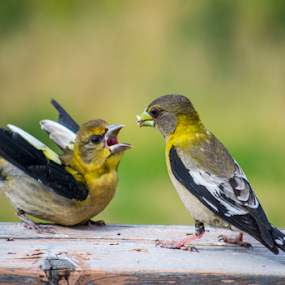 Grosbeaks by Denise Johnson - Animals Birds ( bird, grosbeaks, yellow, birds, grosbeak,  )