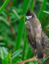 Photo: Red whiskered Bulbul