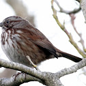 Fox sparrow or Song Sparrow