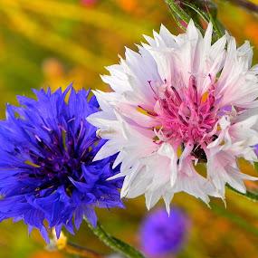Cornflower by Laura Payne - Nature Up Close Flowers - 2011-2013 ( plant, mauve, purple, cornflower, white, petal stamen, roadside, field, blue, sunset, happy, stalk, pink, navy, garden, flower )