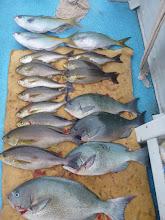 """Photo: 釣果です! まずは""""ウチダさん""""の釣果! 1年ぶりの釣りで戸惑いました。 オナガ、イサキ、ウメイロも入りました!"""